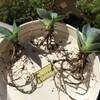 アガベ植え替えとラウィのつぼみ