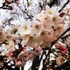 埼玉県の桜穴場スポット【ライトアップあり】をご紹介します