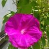 アサガオの花ビラで遊ぶ