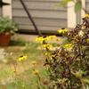 梅雨があけた庭、ルドベキア