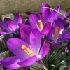育てやすいクロッカス!植えっぱなし3年目でも美しく咲いてくれます♡