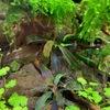 ブセファランドラの植栽1ヵ月