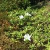 早咲きのツツジは白かった。