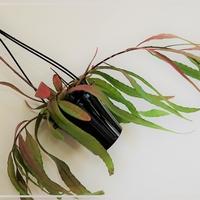 育ててみたら意外と楽しい植物♥️リプサリスの魅力にハマる♥️