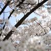 同じく桜を撮った、他