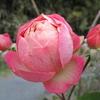 「まつこの庭」・冬のバラ