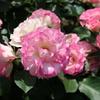 新宿御苑の薔薇