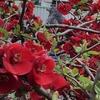 ボケの花の蜜をついばんでますヒヨドリです。