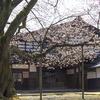 しだれ桜が満開に:内山邸