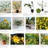 キンシバイとオトギリソウ / セイヨウオトギリ キンシバイは花が美しくヒドコートなどの,属名ヒペリカムで呼ばれる園芸種も開発されています.ヒペリカムは和名でオトギリソウ属.よく知られているオトギリソウ,セイヨウオトギリは,共に伝承豊かな植物で,それぞれ薬効も知られています.セイヨウオトギリの抗うつ作用は大規模試験もされるほど期待が大きかったのですが,結局効果なしと判定されました.