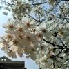 桜観測2017
