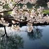 ソメイヨシノは今日から満開。今日から畔塗り開始。