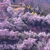 【お花見】 福島市の花見山の穴場絶景スポットを紹介します。