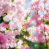 風が吹くたび若草と 桜の花は空に舞い散り