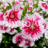 樹木医師の病害虫に強い人気の花