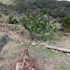 又もやミカンの木