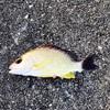 陸っぱり釣果 26種目 オキフエダイ