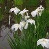 花菖蒲(しょうぶ)と紫陽花(あじさい)