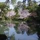 PENTAX K-3で桜「兼六園瓢池」