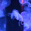 品川でクラゲを写真に撮ろう!!
