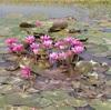 手間を掛けて守った睡蓮池は…(スネークヘッド、繁殖)