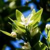 伊予柑の開花&今年初めてのサカハチチョウ、トラフシジミ、コミスジ、ダイミョウセセリ、アオスジアゲハ、ヤマトシジミ♪