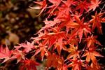 苔ともみじの絶景!日本庭園の紅葉の名所「箱根美術館」