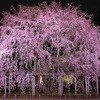 六義園の 桜ライトアップ は18日からです。