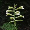 ウバユリが咲いていました。