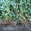 市民菜園で野菜づくりに挑戦!30 〜落花生収穫・その2