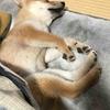 柴犬あきとの生活 58
