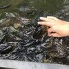 鯉にダイレクトで餌やり。アクアリウムさがみはら体験記