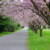 桜の木に実がなっていた