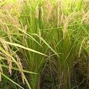 素人が趣味で始めた自然農お米作り