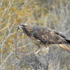 Red-tailed Hawk with snake(爬虫類苦手な方:閲覧注意)