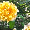 カミツレについて!『誕生花事典』の感想もちょろっと:花が覚えられるようになりたい…!