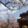 桜満開!~平安神宮~
