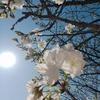 桜の満開はもうすぐ…熊本に行ってきました!!