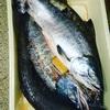 知布泊港(日の出港)で鮭釣り後半