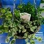 冬だからこそ楽しみたい観葉植物 寄せ植えハンギングバスケット