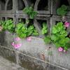 道路脇の花