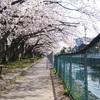 本日の小石川堤桜並木