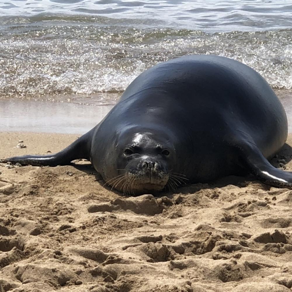 驚き!ハナウマ湾で偶然、ハワイアン モンクシールに初遭遇!
