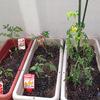 2014年もトマト栽培始めました