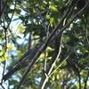 早朝探鳥、善福寺公園の野鳥/2018-8-17・23、武蔵野公園の野鳥/2018-8-25