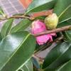 タキイの絞り笑顔2年目の開花始まる