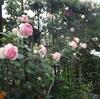 薔薇園、開いています(笑)