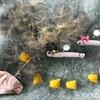【メダカの学校】歯ブラシでゴシゴシ!水草マツモに付いた黒髭コケ落とし