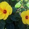 アオイ科の花々