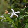 ジャスミン咲く・・・今朝の庭の白い花々
